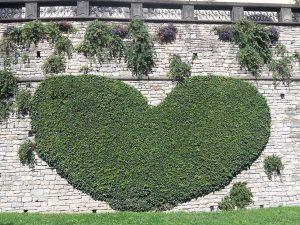 mura di Bergamo - cuore di rampicanti