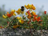 fiori Cornovaglia