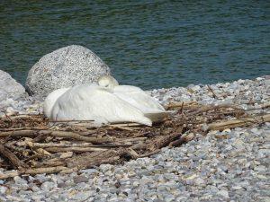 nido cigno a Portese