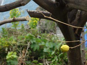 Cinque Terre particolare pianta limone